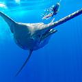 Blue Marlin Magic by Bryan Toney