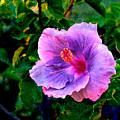 Blue Moon Hibiscus by Steve Karol