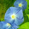 Blue Morning Glories by Sheli Kesteloot