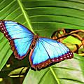 Blue Morpho Butterfly 2 - Paint by Steve Harrington
