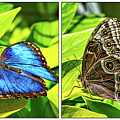 Blue Morpho Butterfly Diptych by Steve Harrington
