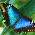 Blue Morpho Butterfly by Kristina Jones