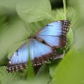 Blue Morpho Butterfly by Mike Lytle