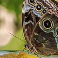 Blue Morpho Butterfly Morpho Peleides  by Olga Hamilton