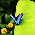 Blue Morpho Butterfly by Patti Whitten