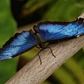 Blue Morpho Butterfly by Sandy Keeton