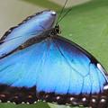 Blue Morpho Butterfly With Opened Wings by Angela Murdock