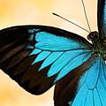 Blue Morpho Closeup by Janet Fikar