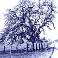Blue Oak by Pamela Matthews