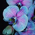 Blue Orchid On Black by Anastasy Yarmolovich