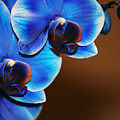 Blue Orchids by Marnie Patchett