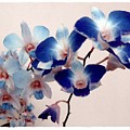 Blue Orchids by Patricia Strand