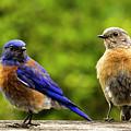 Bluebird Pair by Jean Noren