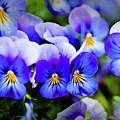 Blue Pansies by Tamyra Ayles