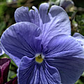 Blue Pansy by FineArtRoyal Joshua Mimbs