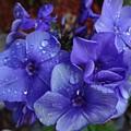 Blue Paradise Phlox by Sarah Malley
