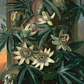 Blue Passion Flower For The  Temple Of Flora By Robert Thornton by Philip Reinagle