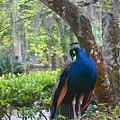 Blue Peacock  by Joan Reese
