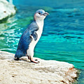 Blue Penguin by MotHaiBaPhoto Prints