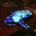 Blue Poison Dart Frog - Dendrobates Azureus by Bill Cannon