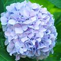 Blue Purple Hydrandea Floral Art Botanical Prints Canvas by Baslee Troutman