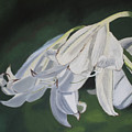 Blue Ridge Lilly by D Turner