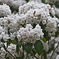 Blue Ridge Mountain Laurel by Teresa Mucha