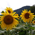 Blue Ridge Sunflowers  by Joe D Dry