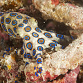 Blue Ring Octopus by Freund Gloria