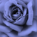Blue Rose Abstract by Carol Groenen