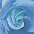 Blue Rose by Julia Hiebaum