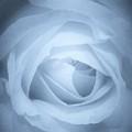 Blue Rose by Rosemary Meier