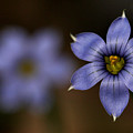Blue Sixpetal by Don Ziegler