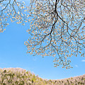 Blue Skies And Dogwood by Tamyra Ayles