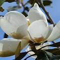 Blue Skies Magnolia by Maria Urso