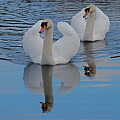 Blue Sky And Two Swans by Doug Thwaites