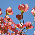 Blue Sky Art Prints Pink Dogwood Flowers 16 Dogwood Tree Art Prints Baslee Troutman by Baslee Troutman