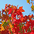Blue Sky Autumn Art Prints Colorful Fall Tree Leaves Baslee by Baslee Troutman