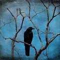 Blue Sky Blackbird by Gothicrow Images