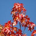 Blue Sky Fall Tree Leaves Landscape Art Prints Baslee Troutman by Baslee Troutman