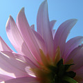 Blue Sky Floral Art Print Pink Dahlia Flower Baslee Troutman by Baslee Troutman