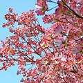 Blue Sky Floral Art Print Pink Dogwood Tree Flowers Baslee Troutman by Baslee Troutman