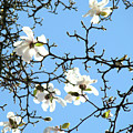 Blue Sky Floral Art White Magnolia Tree by Baslee Troutman