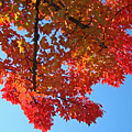 Blue Sky Red Autumn Leaves Sunlit Orange Baslee Troutman  by Baslee Troutman
