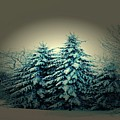 Blue Spruce-maine Evergreens by Mike Breau