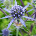 Blue Star  by Barbara  White