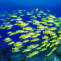 Blue Stripe Snapper by Dave Fleetham - Printscapes