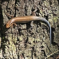 Blue Tailed Skink by J M Farris Photography