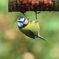 Blue Tit At Garden Feeder by Aidan Moran