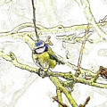 Blue Tit Drawing. by Nigel Dudson